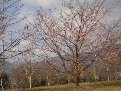 ブルックスの所の桜170129