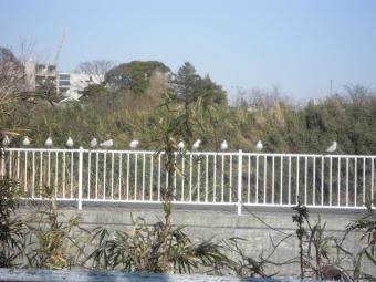 花水川沿いカモメ170208