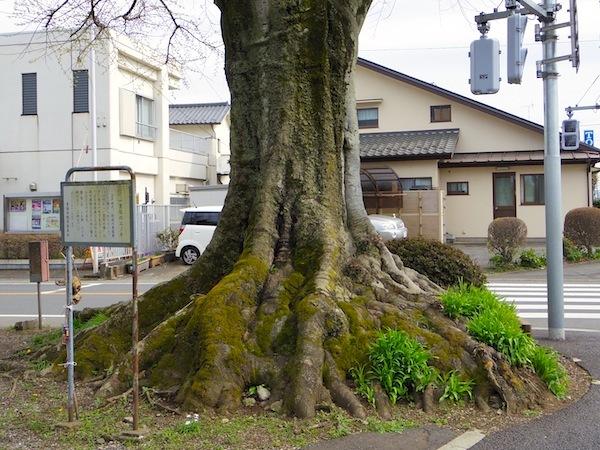 「一里塚のエノキ」―青梅市天然記念物―