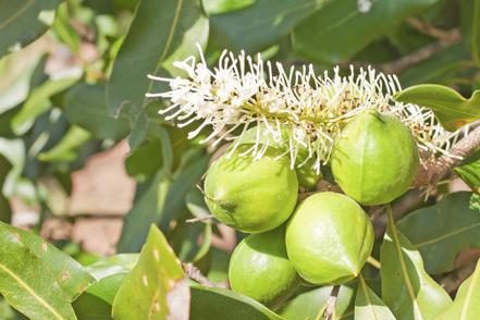 macadamia_tree.jpg