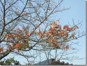 161113001 桜の紅葉