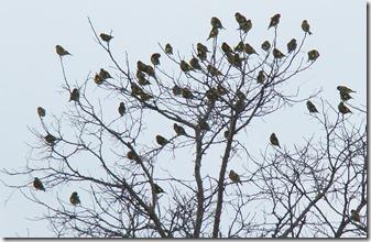 161125010 増えてきたカワラヒワの群れ(鵲)