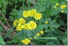 161125024 シマカンギクの花