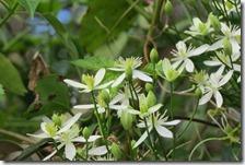 161125026 センニンソウの花