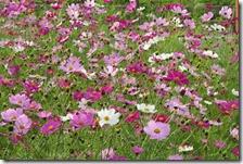 161125029 コスモスの花畑