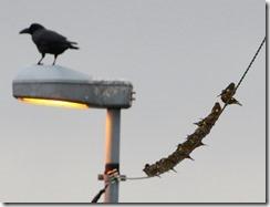 161229007 カワラヒワの群れ(鵲)