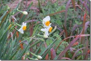 161229012 スイセンの花