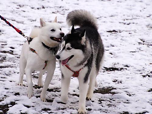北海道犬の子と