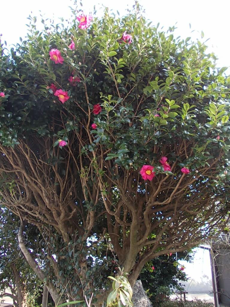 Sazanka camellia 20161209