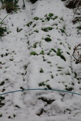 野菜畑の雪
