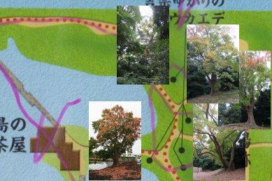 吉宗ゆかりの唐楓on庭園マップ