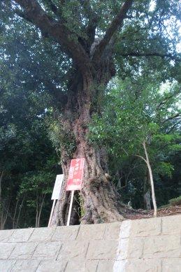 境内古木の一つ、アカガシ