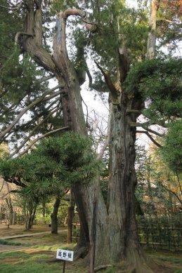 高野槇(樹齢500年)