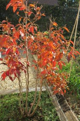 今月初めのヒメシャラの紅葉