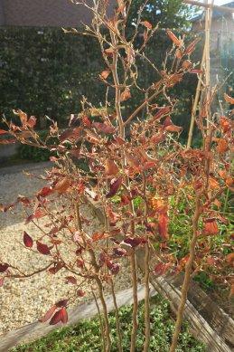 枯れ葉のヒメシャラ