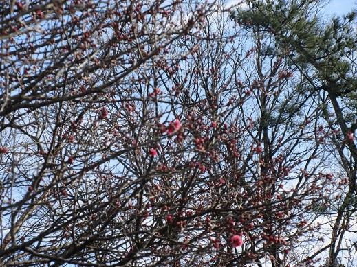 29年1月5日チラホラ咲き出した梅