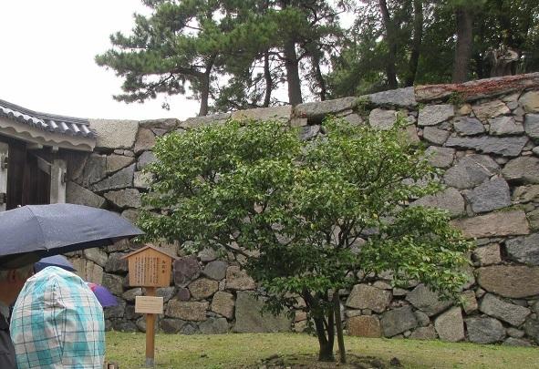 名古屋城御殿ツバキ