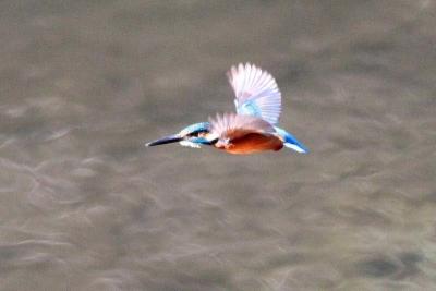カワセミ飛翔a_1_1