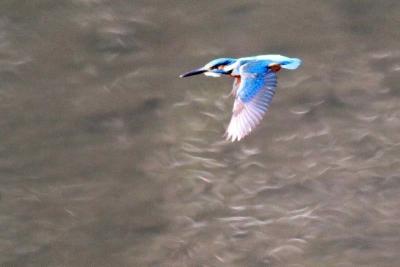 カワセミ飛翔b_1_1
