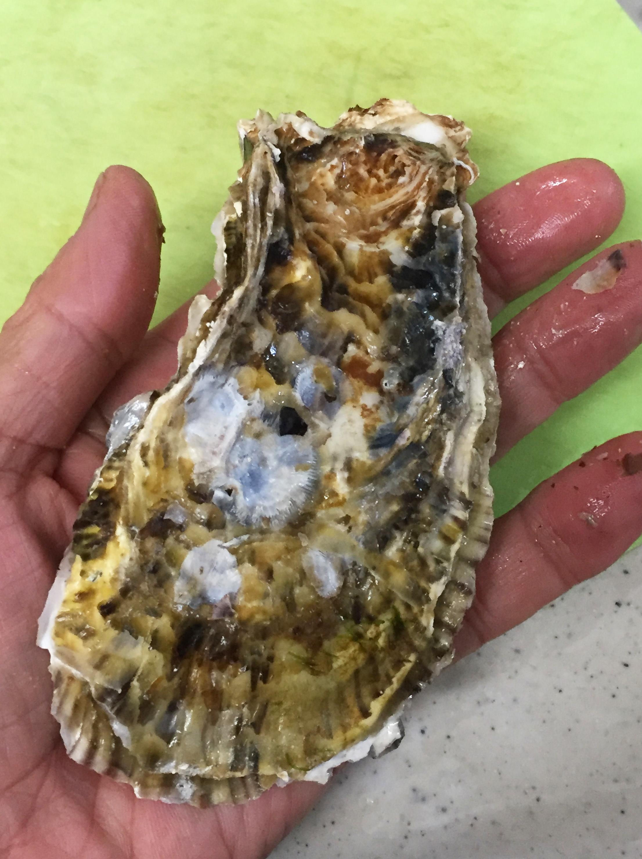 セルカキ殻