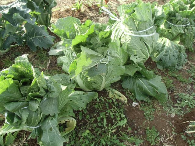 白菜の鉢巻