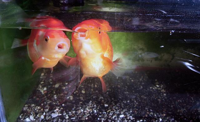 寄ってくる金魚たち