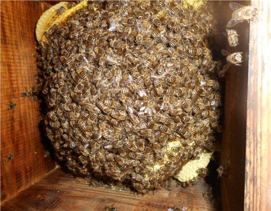冬越しの蜜蜂群 H2901