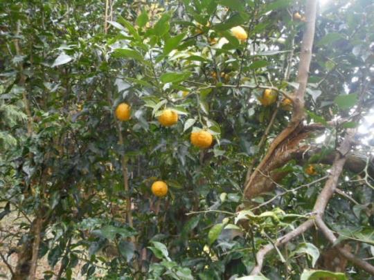 生り年 柚子 H2811