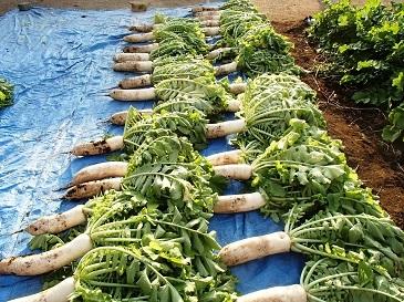 2016伝統大蔵 収穫
