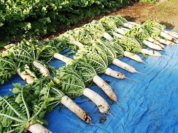 2016伝統大蔵 収穫2