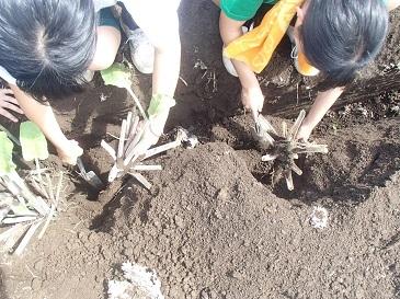 渡辺早生 収穫2