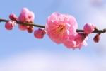梅の花 アップ