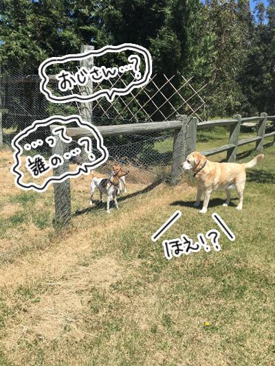 羊の国のラブラドール絵日記シニア!!「うわさの真相」2