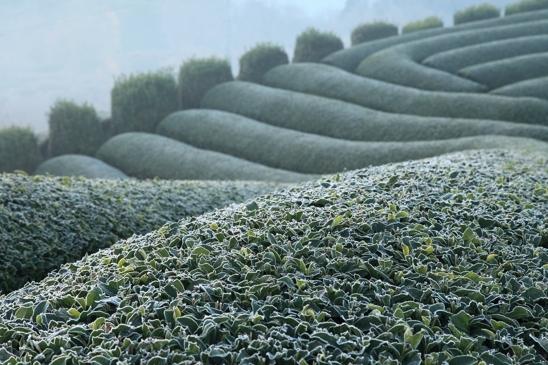 小IMG_1736茶畑霜