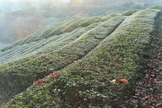 IMG_1763茶畑小