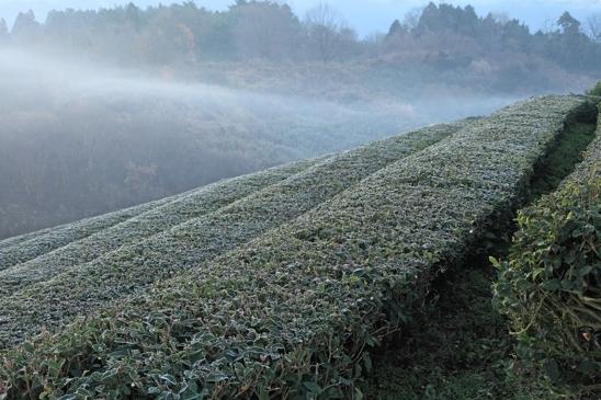 IMG_1696茶畑霜小