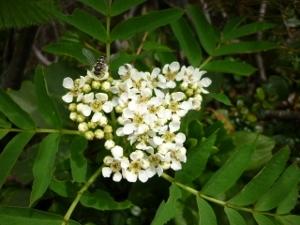 ナナカマドの花 (300x225)