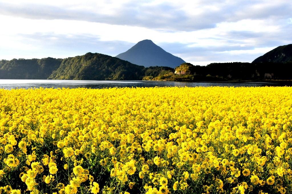 池田湖の菜の花