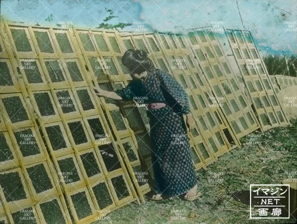 昔の海苔作り