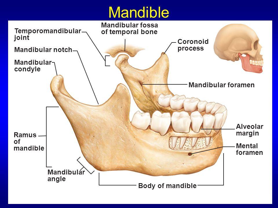 mandibular condyle