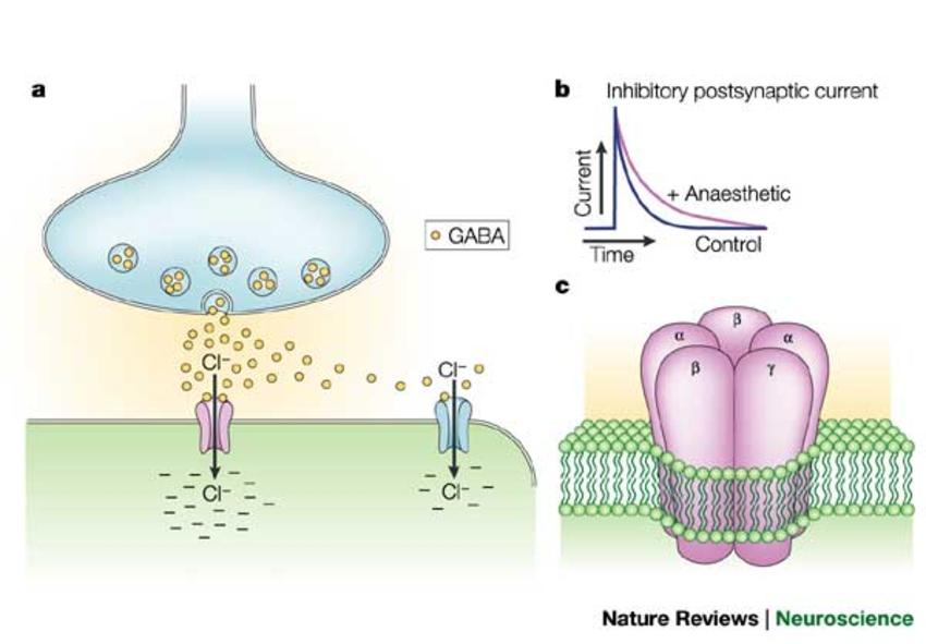 Figure-3-Synaptic-and-extrasynaptic-locations-of-GABAA-receptorsa-On-binding-of-GABA.png