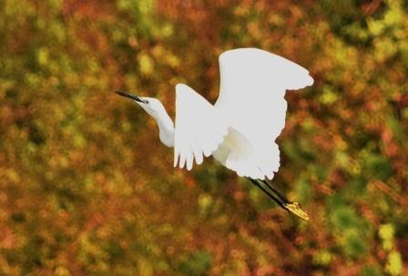 コサギ飛翔2ハレーションweb