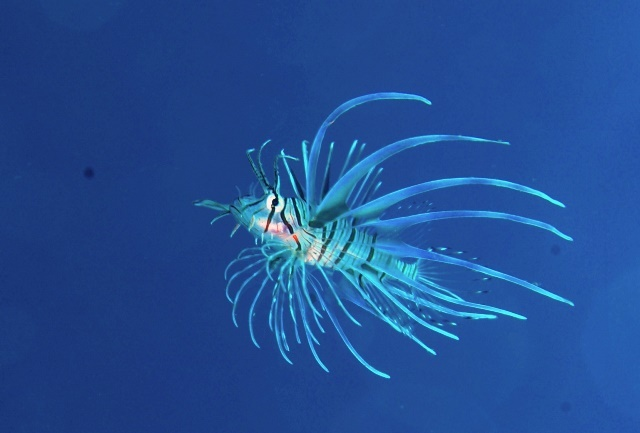 ミノカサゴ幼魚泳ぐweb
