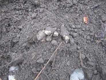 カライモ掘り2
