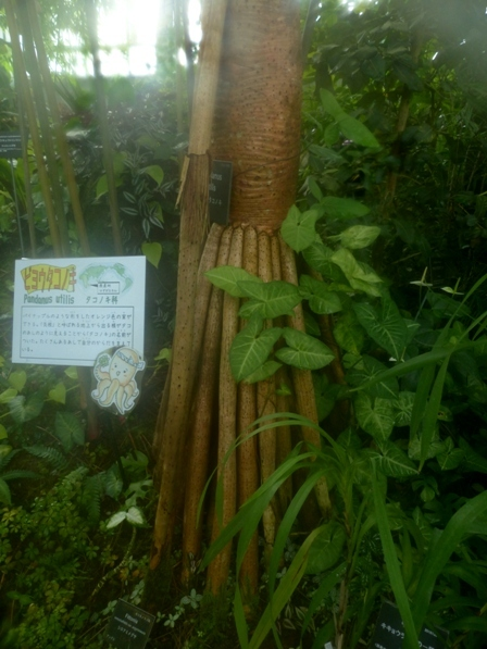 牧野植物園 ビヨウタコノキ