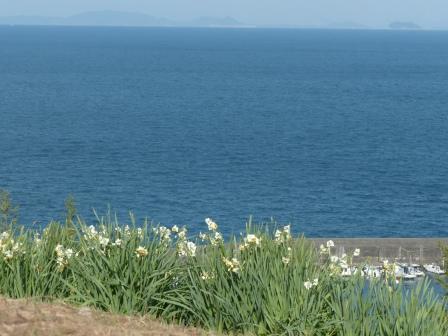 双海の水仙畑 5