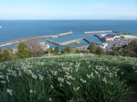 双海の水仙畑 2