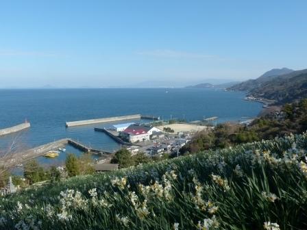 双海の水仙畑 4