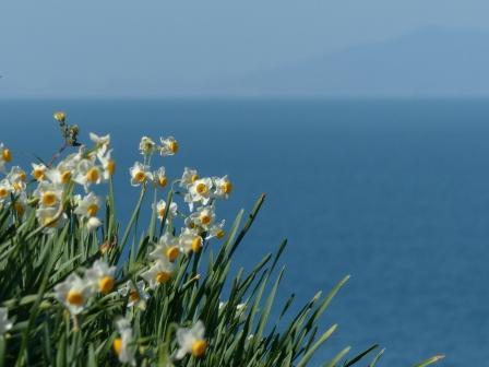 双海の水仙畑 6