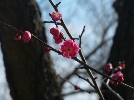 松山総合公園 寒紅梅 2